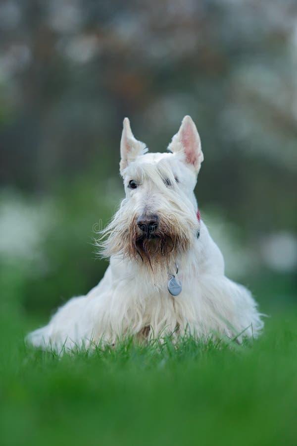 Terrier escocês, branco, cão bonito wheaten no gramado da grama verde, flor branca no fundo, Escócia, Reino Unido imagem de stock royalty free