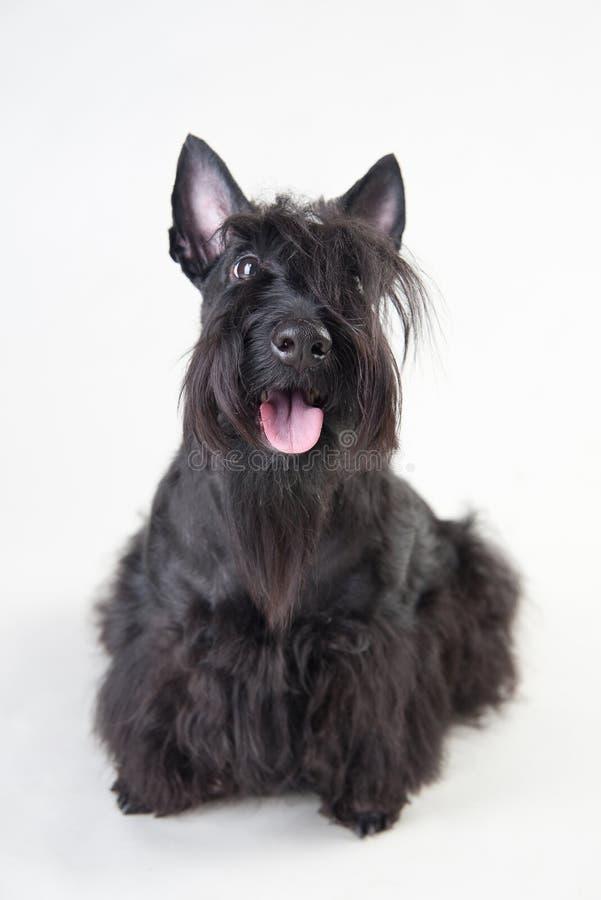 Terrier escocês novo em um fundo branco fotografia de stock royalty free