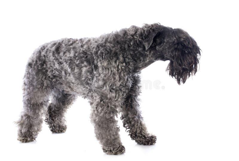 Terrier för Kerry blått royaltyfria foton
