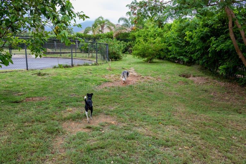 Terrier gris y blanco del border collie y del braziliam que juega en la hierba verde imagenes de archivo