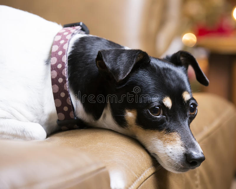 Terrier-hond op leerbank stock afbeelding