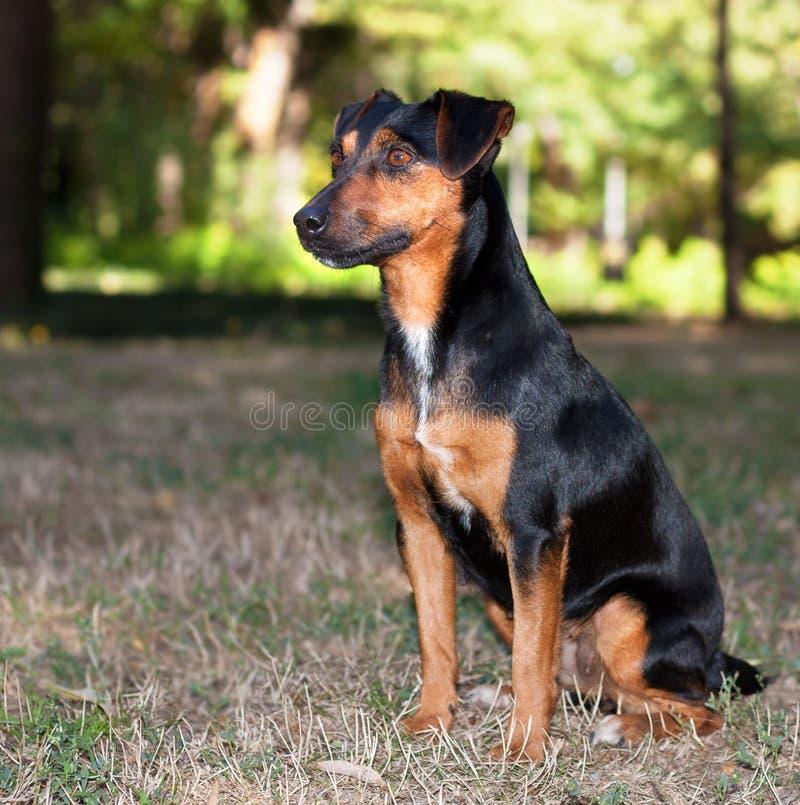 Terrier hund royaltyfria bilder