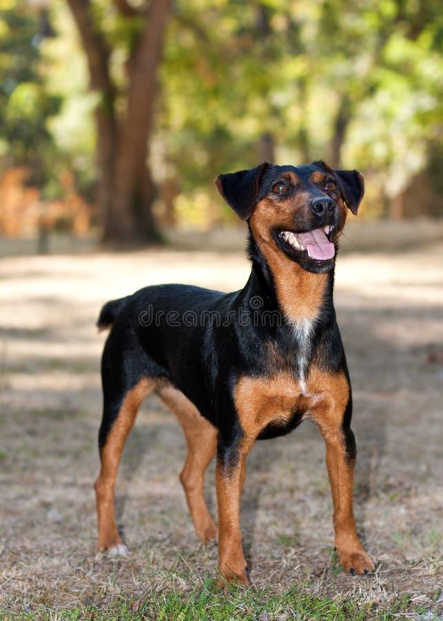 Terrier hund royaltyfri foto