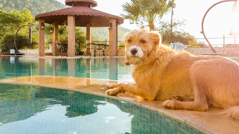 Terrier-Hund, der weg nahe dem Wasser des Swimmingpools abkühlt stockfotografie