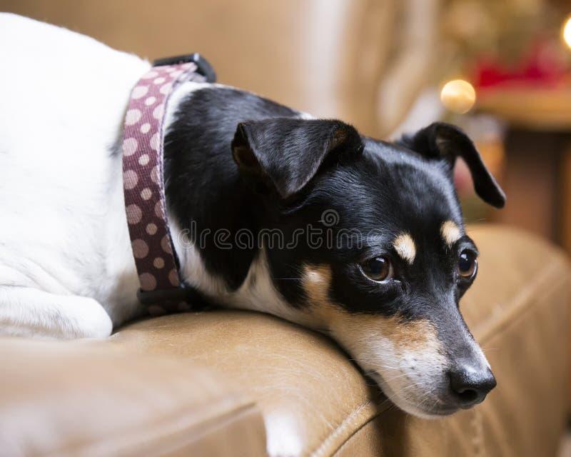 Terrier hund på lädersoffan fotografering för bildbyråer