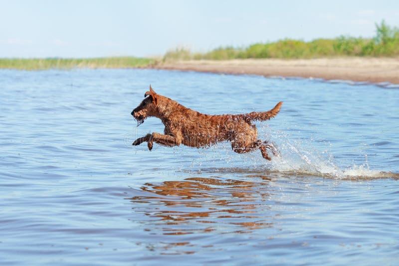 Terrier irlandese che salta sopra l'acqua di estate immagini stock