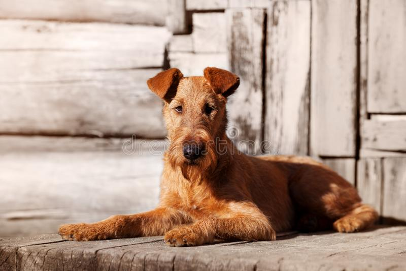 Terrier irlandese si trova sul portico di vecchia casa di legno fotografia stock