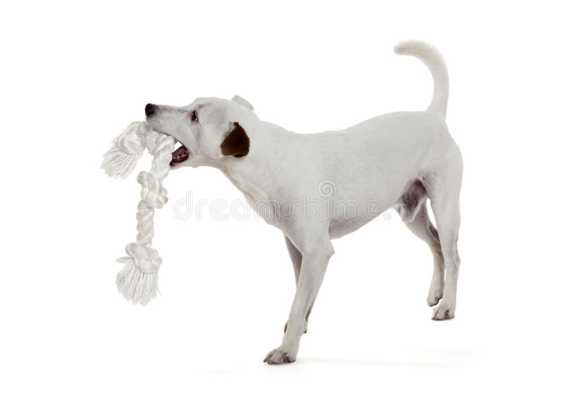 Terrier Jack Рассела стоковое фото rf