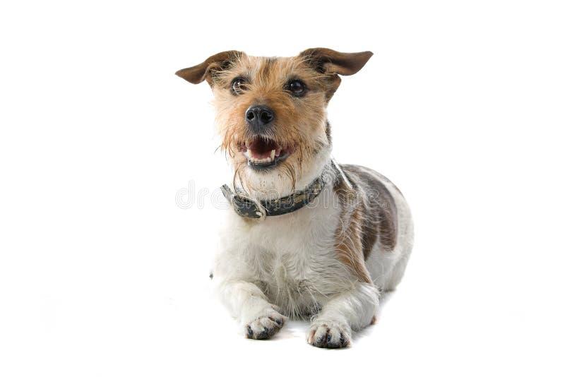 Terrier Jack-Russel lizenzfreies stockfoto