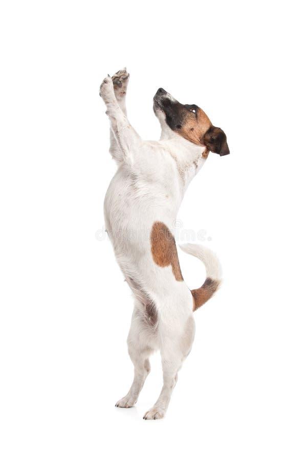 Terrier Jack-Russel stockfotos