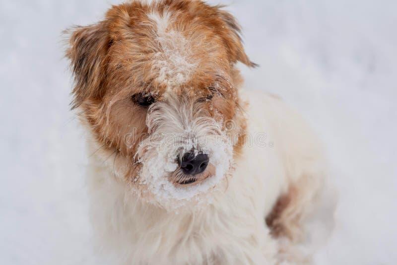 Terrier Jack-Russel Trauriger wirehaired Hund, der auf wei?em Schneehintergrund schaut Kleines Haus im Schnee deckte Holz in den  lizenzfreie stockfotografie