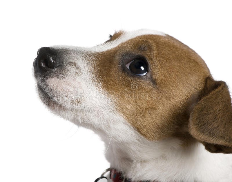Terrier Jack-Russell, 12 Wochen alt, oben schauend lizenzfreie stockfotografie