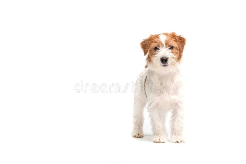 Terrier Jack-Russell stockbild