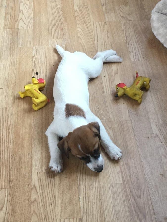 Terrier Jack-Russell lizenzfreies stockfoto