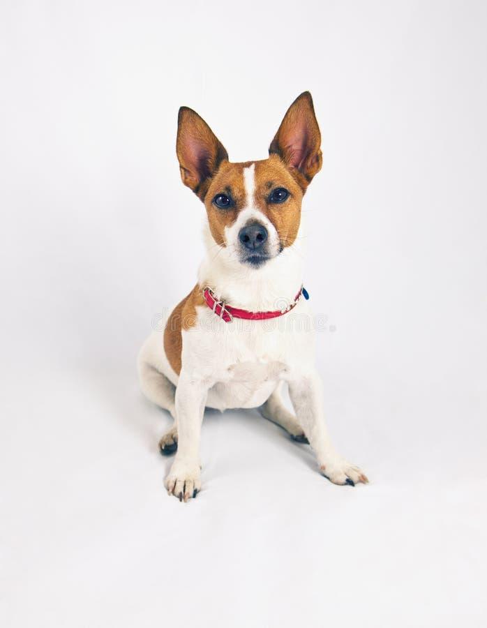 Terrier Jack-Russell auf einem weißen Hintergrund lizenzfreie stockbilder