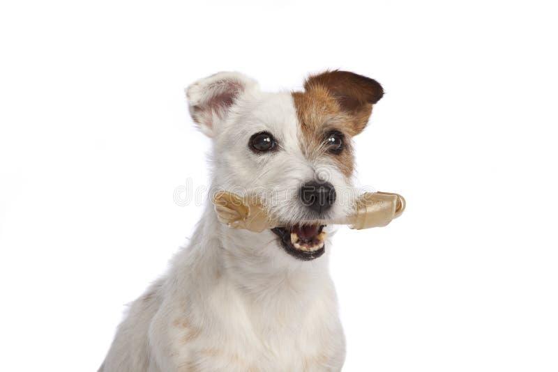 Terrier Jack-Russell, der eine Knochenstellung anhält stockfotos