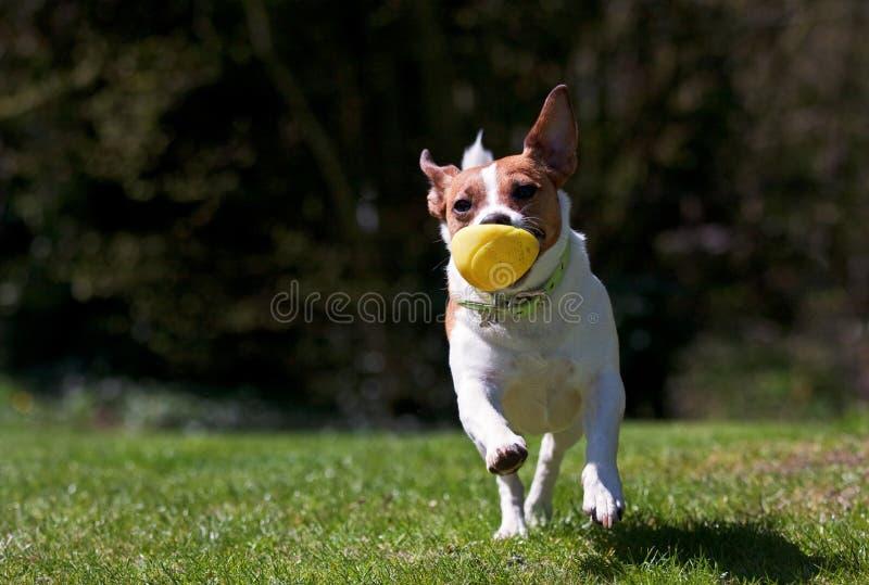 Terrier Jack-Russell, der mit Kugel läuft lizenzfreie stockfotos