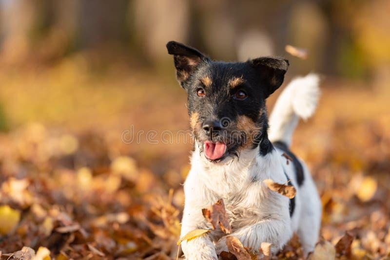 Terrier Jack-Russell Junger netter Hund läuft schnell durch eine Baumallee im Wald stockfoto