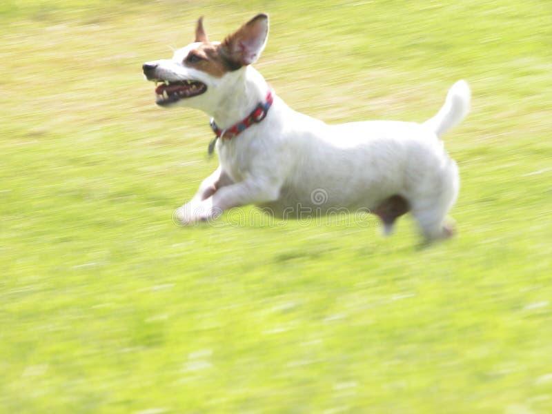 Terrier JRT Jacob de Gato Russell que ejecuta 01 foto de archivo libre de regalías