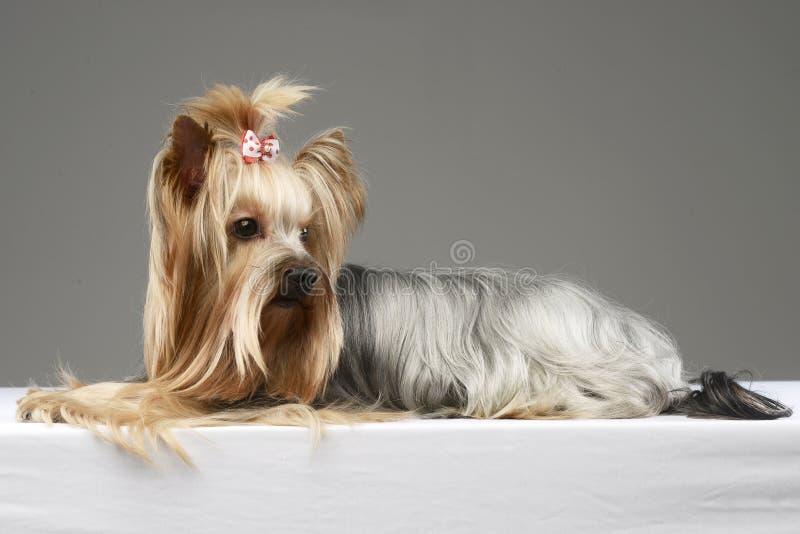 Terrier largo del yorshire del pelo que miente en un estudio imágenes de archivo libres de regalías