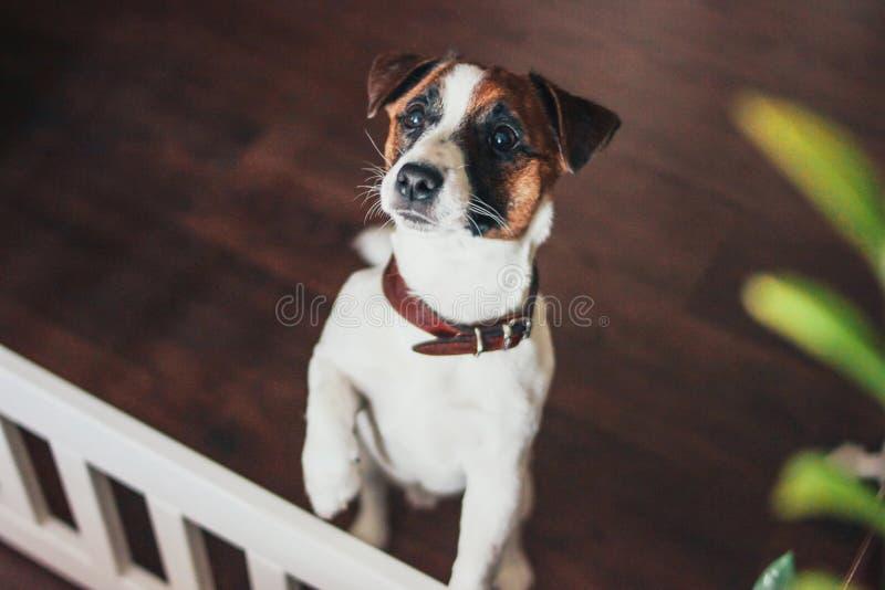 Terrier lindo de Jack Russell del perro de perrito que mira la cámara en hogar fotografía de archivo