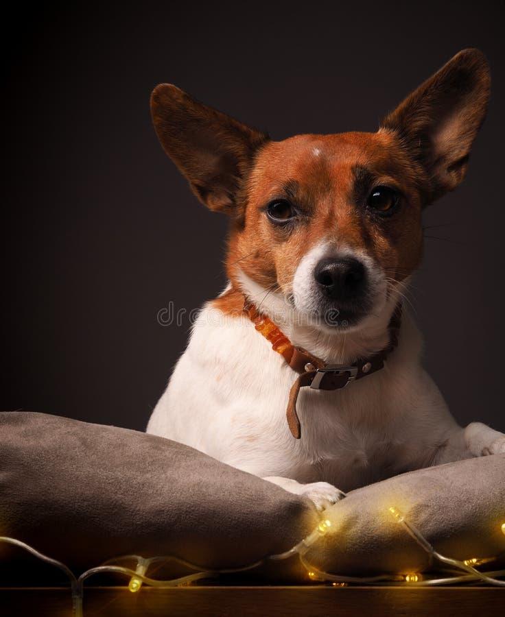 Terrier met Kerstmislichten stock foto