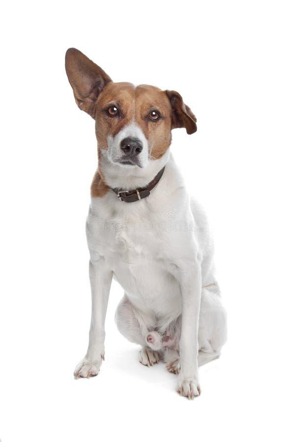 Terrier mezclado de Russel del gato de la casta imagenes de archivo