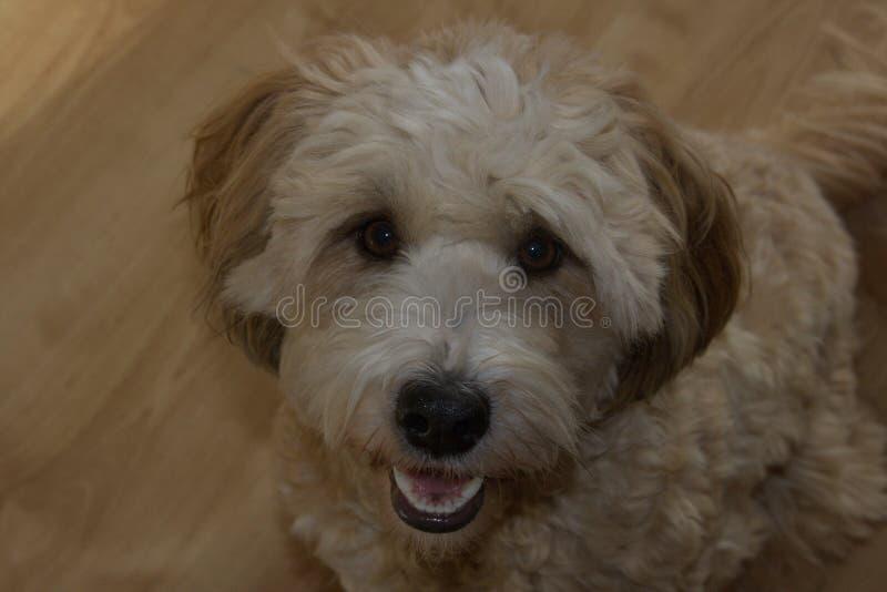 Terrier mignon femelle simple du Thibet de chien image stock