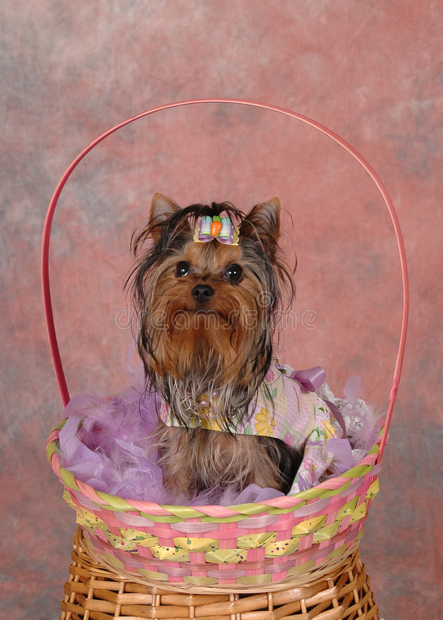 Terrier na cesta de Easter. foto de stock royalty free