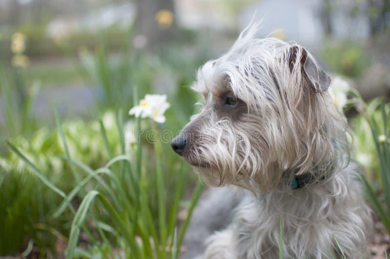 Terrier no jardim imagens de stock royalty free