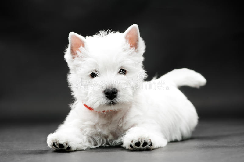 Terrier ocidental do branco das montanhas foto de stock royalty free
