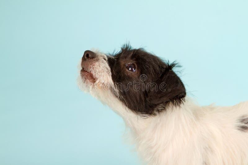 Terrier Pastorjack-Russell lizenzfreie stockfotografie