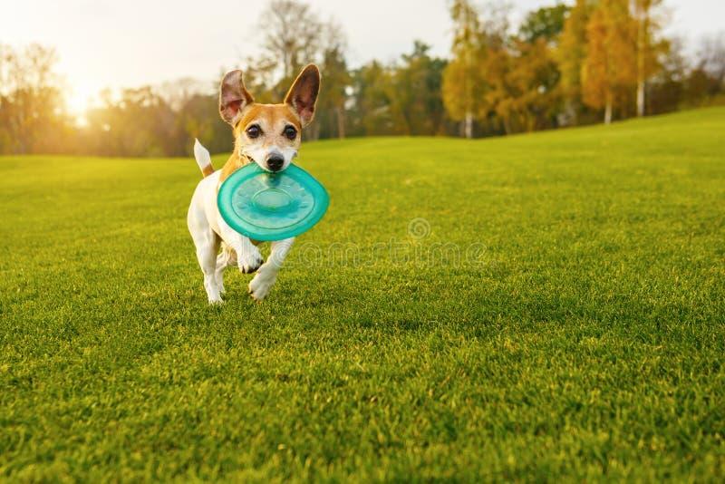 Terrier pequeno adorável de Jack Russell do cão fotografia de stock royalty free