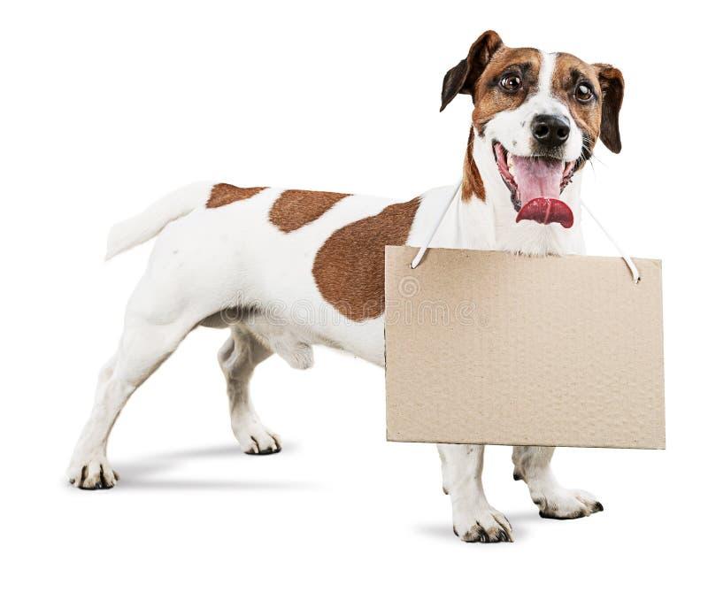 Terrier pequeno bonito de Jack Russell do cão com caixa imagens de stock