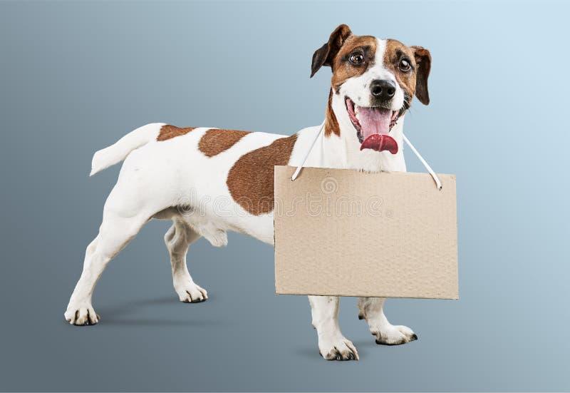 Terrier pequeno bonito de Jack Russell do cão no cinza fotografia de stock royalty free