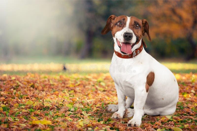 Terrier pequeno bonito de Jack Russell do cão no fundo imagens de stock royalty free