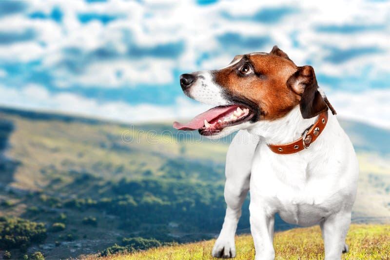 Terrier pequeno bonito de Jack Russell do cão no fundo foto de stock