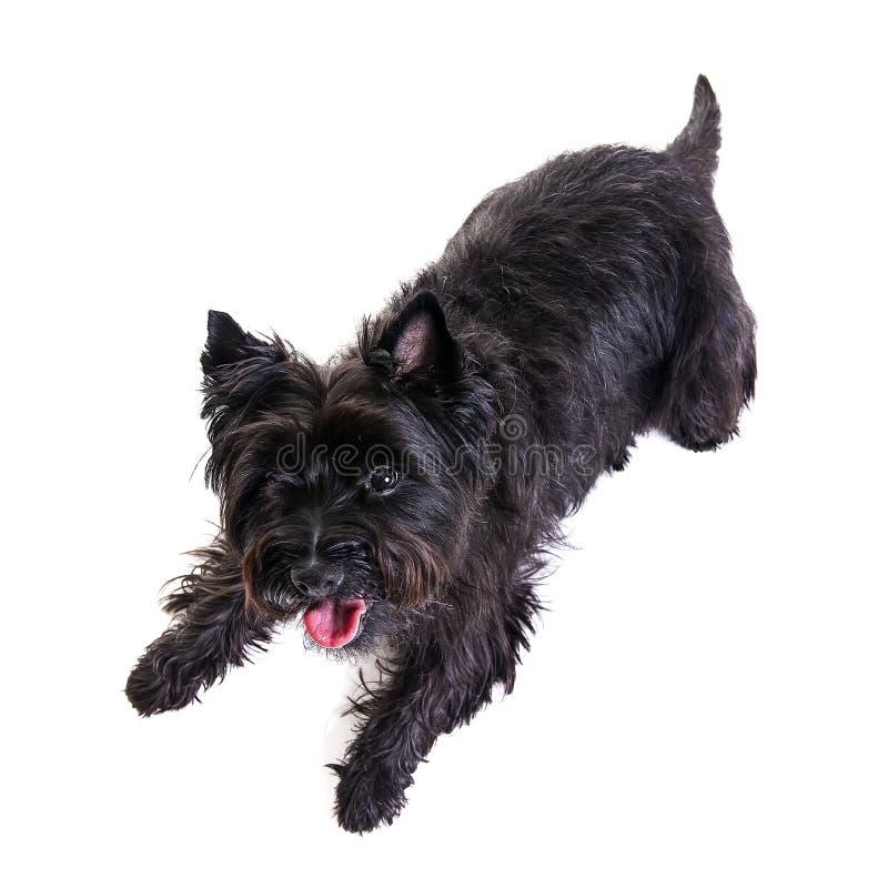 Terrier pequeno preto que encontra-se para baixo no fundo branco Vista da imagens de stock royalty free