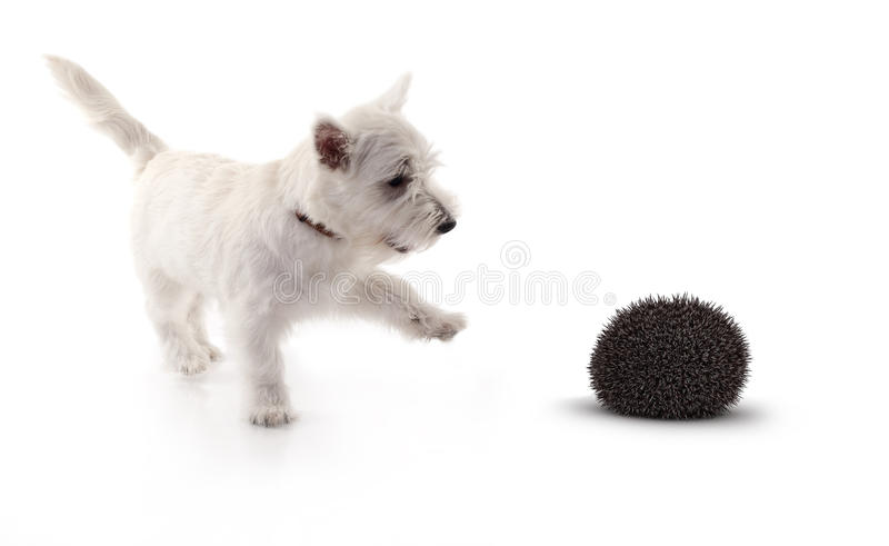Terrier playing with 3d hedge hog stock photography