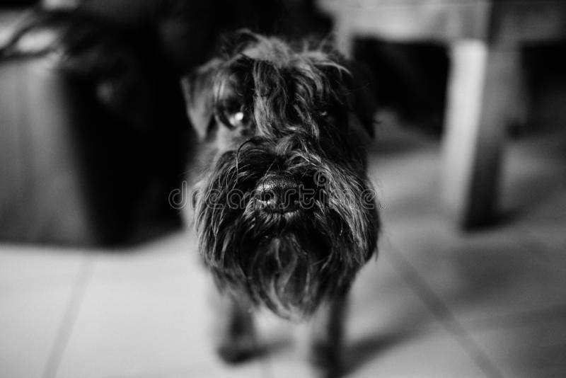 Terrier preto imagem de stock royalty free
