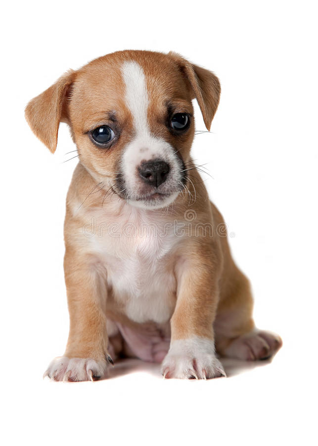 Terrier Puppy stock image