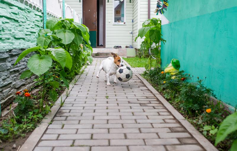 Terrier running with a ball in the backyard. Terrier running with a soccerball in the backyard in the village stock photos