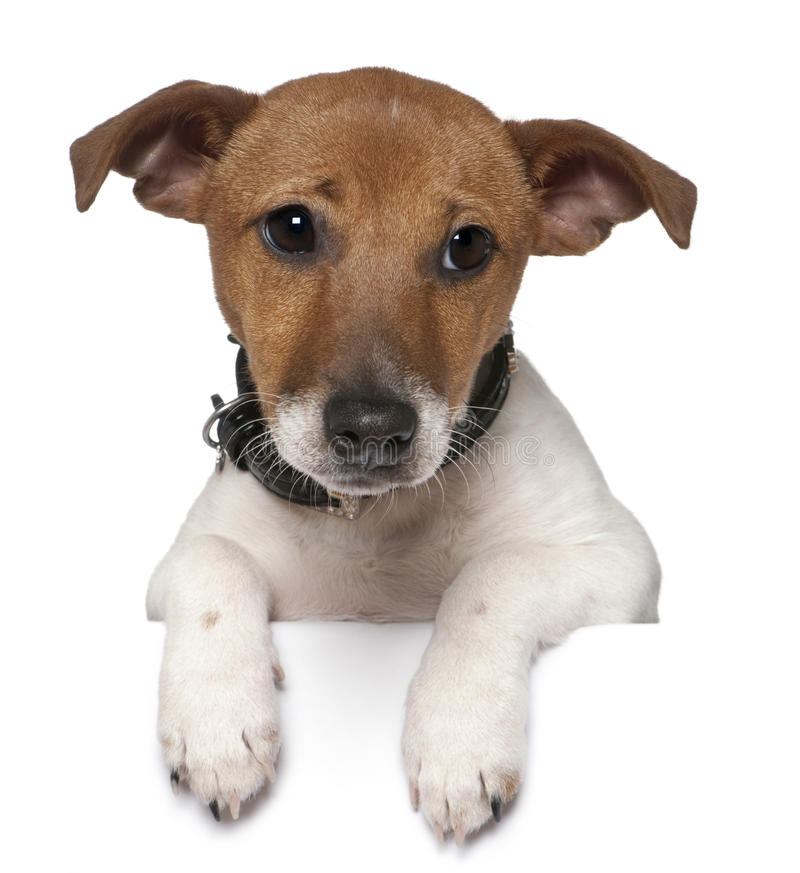 terrier russell 3 месяцев jack старый стоковые фото