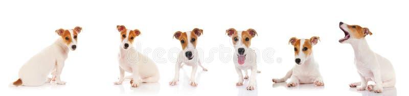 terrier russell jack стоковые фото