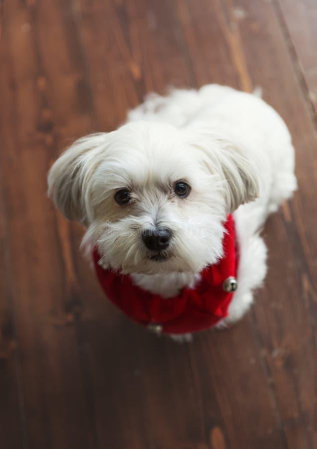 Terrier sedoso maltés blanco magnífico con un cuello rojo de la Navidad imagenes de archivo
