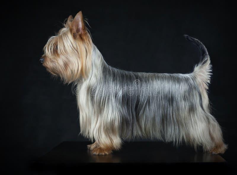 Terrier serico australiano fotografia stock libera da diritti