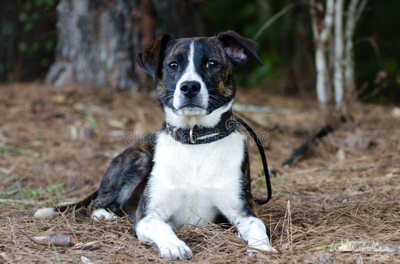 Terrier Shepherd mix breed dog. Brindle and white Terrier Shepherd mix breed dog, outdoor pet photography, humane society adoption photo, Walton County Animal stock photos