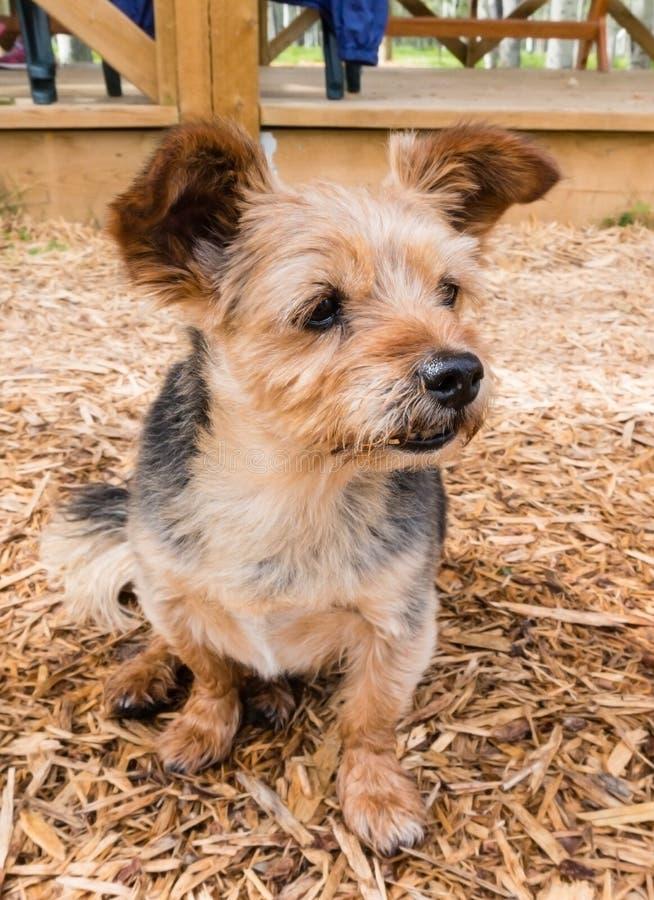 Terrier - Shih Tzu Crossbreed Dog fotografia de stock royalty free