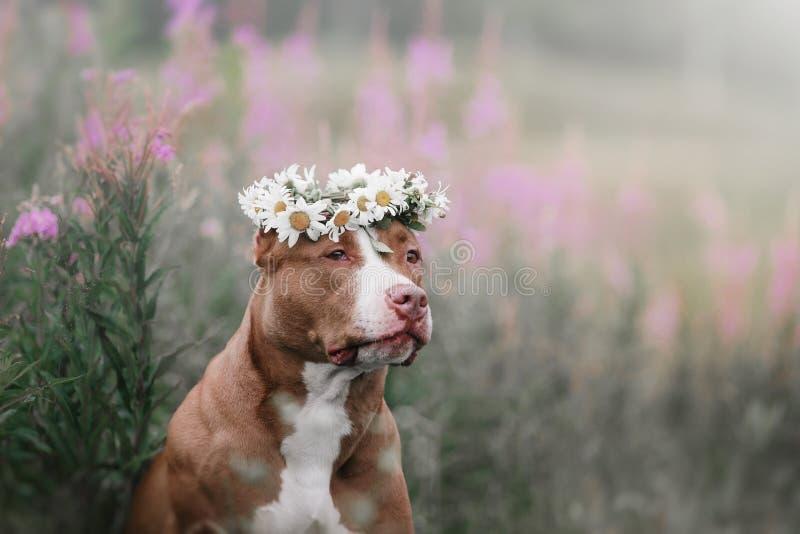 Terrier sveglio del cane del pitbull con le margherite fotografia stock