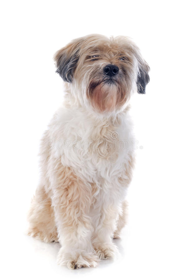 Terrier tibétain image stock